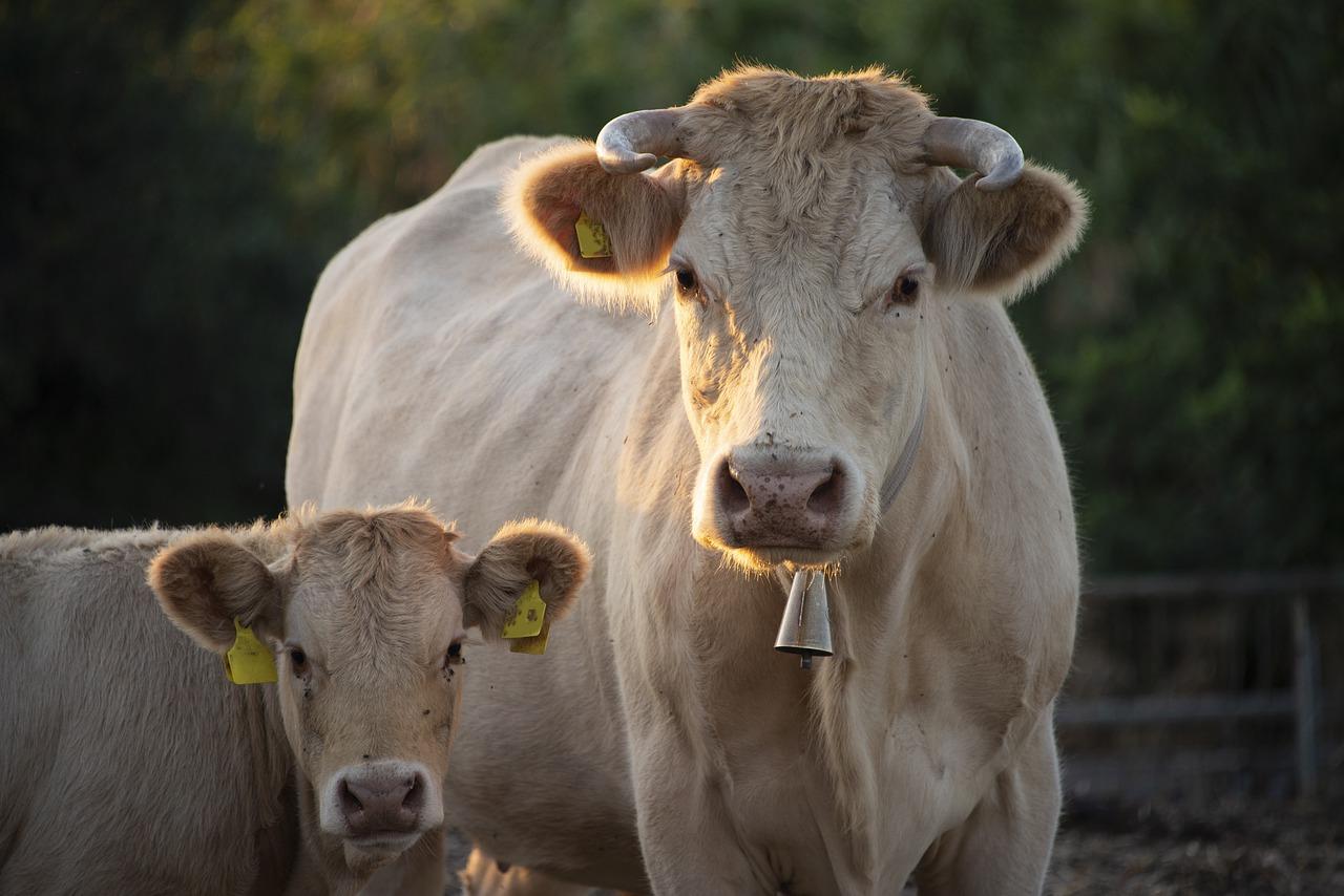 Wysłodki buraczane – suche czy mokre? Jak skarmiać zwierzęta wysłodkami?